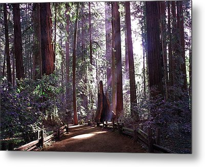 Path By An Ancient Redwood Metal Print by Laura Iverson