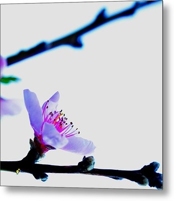 Metal Print featuring the photograph Peach Blossom by Puzzles Shum