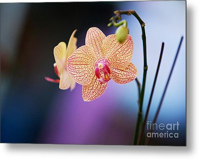 Peach Orchid Metal Print by Gary Bridger