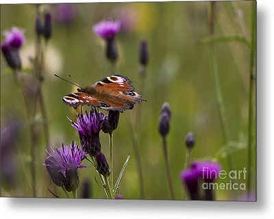 Peacock Butterfly On Knapweed Metal Print by Clare Bambers
