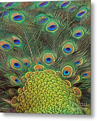 Metal Print featuring the photograph Peacock  Detail by Larry Nieland