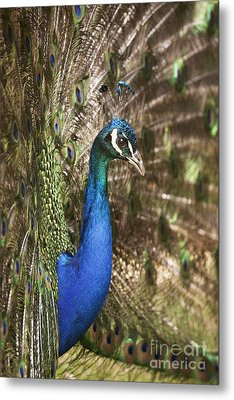 Peacock Display Metal Print by Richard Garvey-Williams
