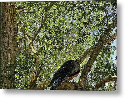 Peacock Enjoying The Shade Of The Tree On A Hot Summer Day Metal Print