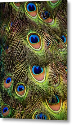 Peacock Feathers Metal Print by Navid Baraty / Getty Images