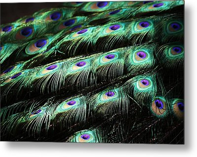 Peacock Feathers Metal Print by Paulette Thomas