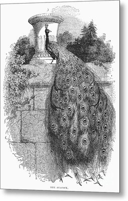 Peacock Metal Print by Granger