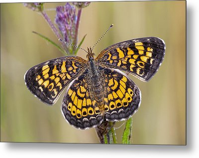 Pearl Crescent Butterfly On Wildflowers Metal Print by Bonnie Barry