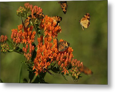 Pearly Crescentpot Butterflies Landing On Butterfly Milkweed Metal Print