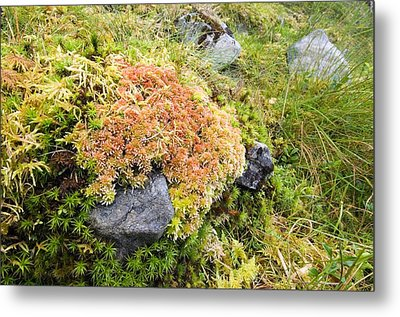 Peat Moss (sphagnum Sp.) Metal Print by Duncan Shaw