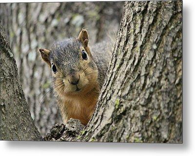 Peek A Boo Squirrel Metal Print by Rosanne Jordan