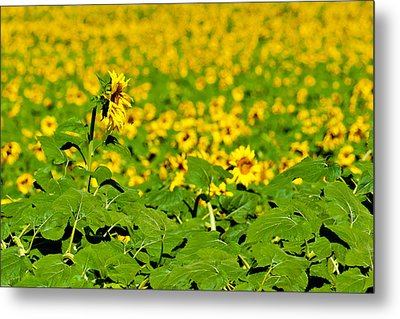 Metal Print featuring the photograph Peeking Above  Sea Of Yellow by Colleen Coccia