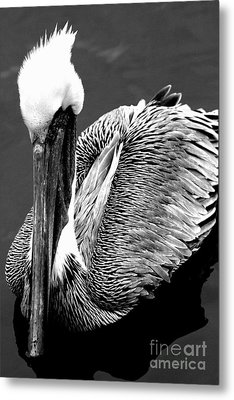 Pelican . 7d8287 Metal Print by Wingsdomain Art and Photography