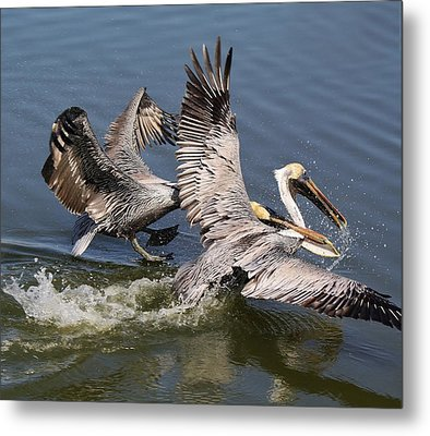 Pelican Fight Metal Print by Paulette Thomas