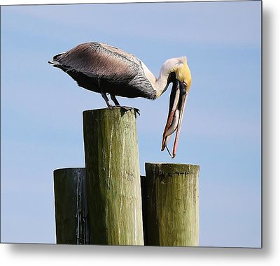 Pelican Fishing Metal Print by Paulette Thomas