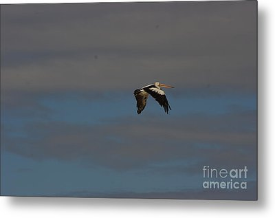 Metal Print featuring the photograph Pelican In Flight 4 by Blair Stuart