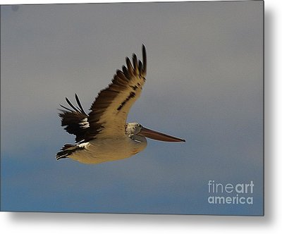 Metal Print featuring the photograph Pelican In Flight 5 by Blair Stuart