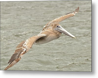 Pelican On The Water Metal Print by Rick Frost