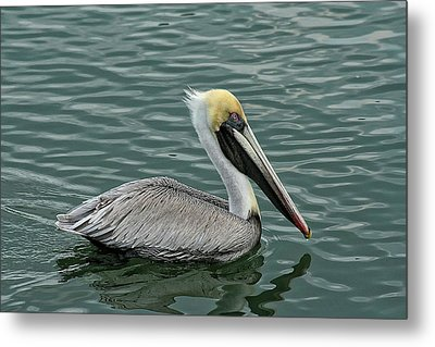 Pelican Out For A Swim Metal Print by Sandra Anderson