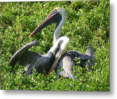 Metal Print featuring the photograph Pelican Romance by Laurel Talabere