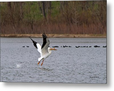 Metal Print featuring the photograph Pelican Take-off by Stephen  Johnson