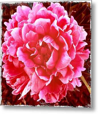 Metal Print featuring the photograph Peonie by Paul Cutright