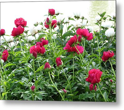 Metal Print featuring the photograph Peony Abundance by Rebecca Overton