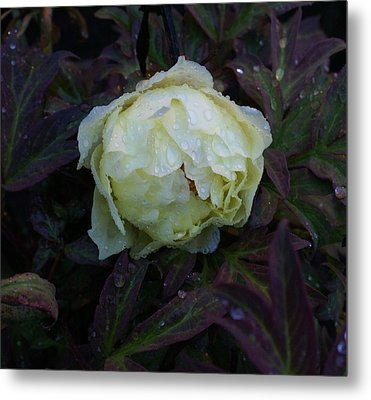 Metal Print featuring the photograph Peony After The Rain by Jerry Cahill