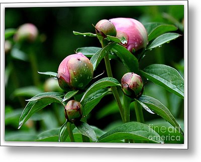Metal Print featuring the photograph Peony Buds by Tanya  Searcy