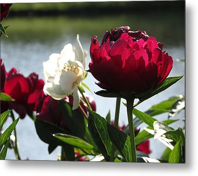 Metal Print featuring the photograph Peony Sunlit by Rebecca Overton