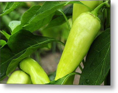 Pepper Crop Metal Print by Wanda Brandon