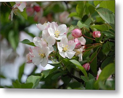 Perfect Blossoms In Portland Me Metal Print by Mary McAvoy