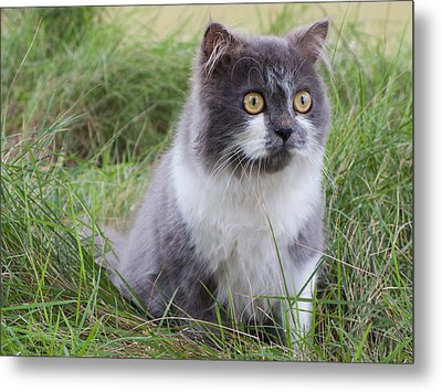 Persian Cat Sit In Green Yard Metal Print by Nawarat Namphon
