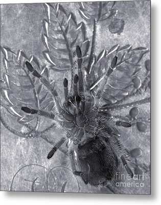 Pet Rose Hair Tarantula On Antique Silverplate Metal Print by Janeen Wassink Searles