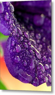Metal Print featuring the photograph Petunia Raindrops by Suzanne Stout
