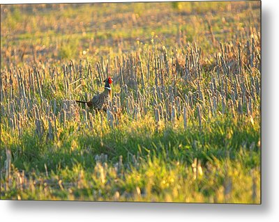 Metal Print featuring the photograph Pheasant Into The Light by Shirley Heier