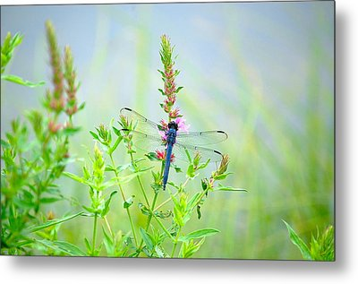 Picture Perfect Skimmer Dragonfly Metal Print by Mary McAvoy