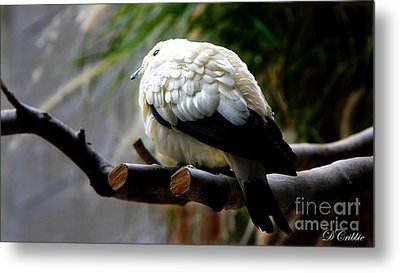 Metal Print featuring the photograph Pied Imperial Pigeon by Davandra Cribbie