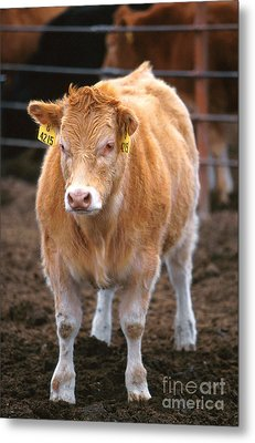 Piedmontese-hereford Crossbred Calf Metal Print by Science Source