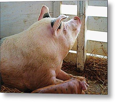 Pig Enjoying The Sun Metal Print by Susan Savad