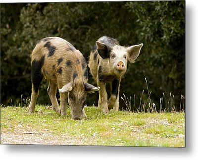Piglets Foraging In Woodland Metal Print by Bob Gibbons