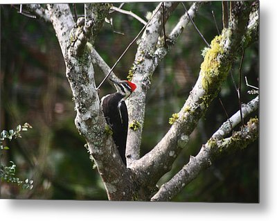 Pileated Woodpecker In Cherry Tree Metal Print by Kym Backland