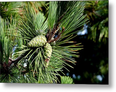 Pine Cones In A Pine Tree Metal Print by Bill Cannon