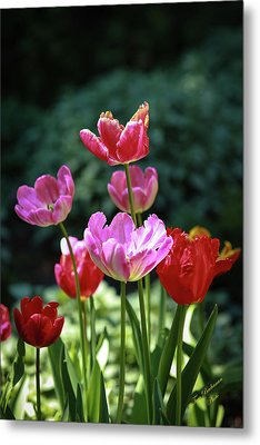 Pink And Red Tulips Metal Print by Tom Buchanan