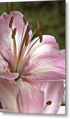 Pink Asiatic Lily Metal Print