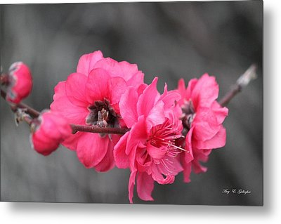 Pink Blossoms  Metal Print by Amy Gallagher