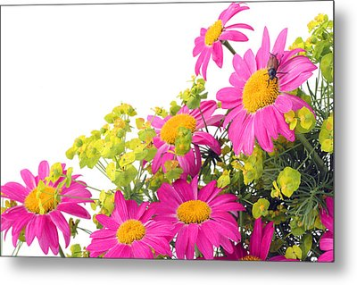 Metal Print featuring the photograph Pink Camomiles And Bug Card by Aleksandr Volkov
