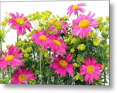Metal Print featuring the photograph Pink Camomiles Background by Aleksandr Volkov