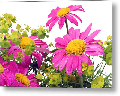 Metal Print featuring the photograph Pink Camomiles Macro by Aleksandr Volkov