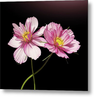 Pink Cosmos Flower Metal Print by Gitpix