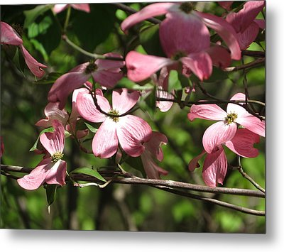 Pink Dogwood Tree Metal Print by Rebecca Overton